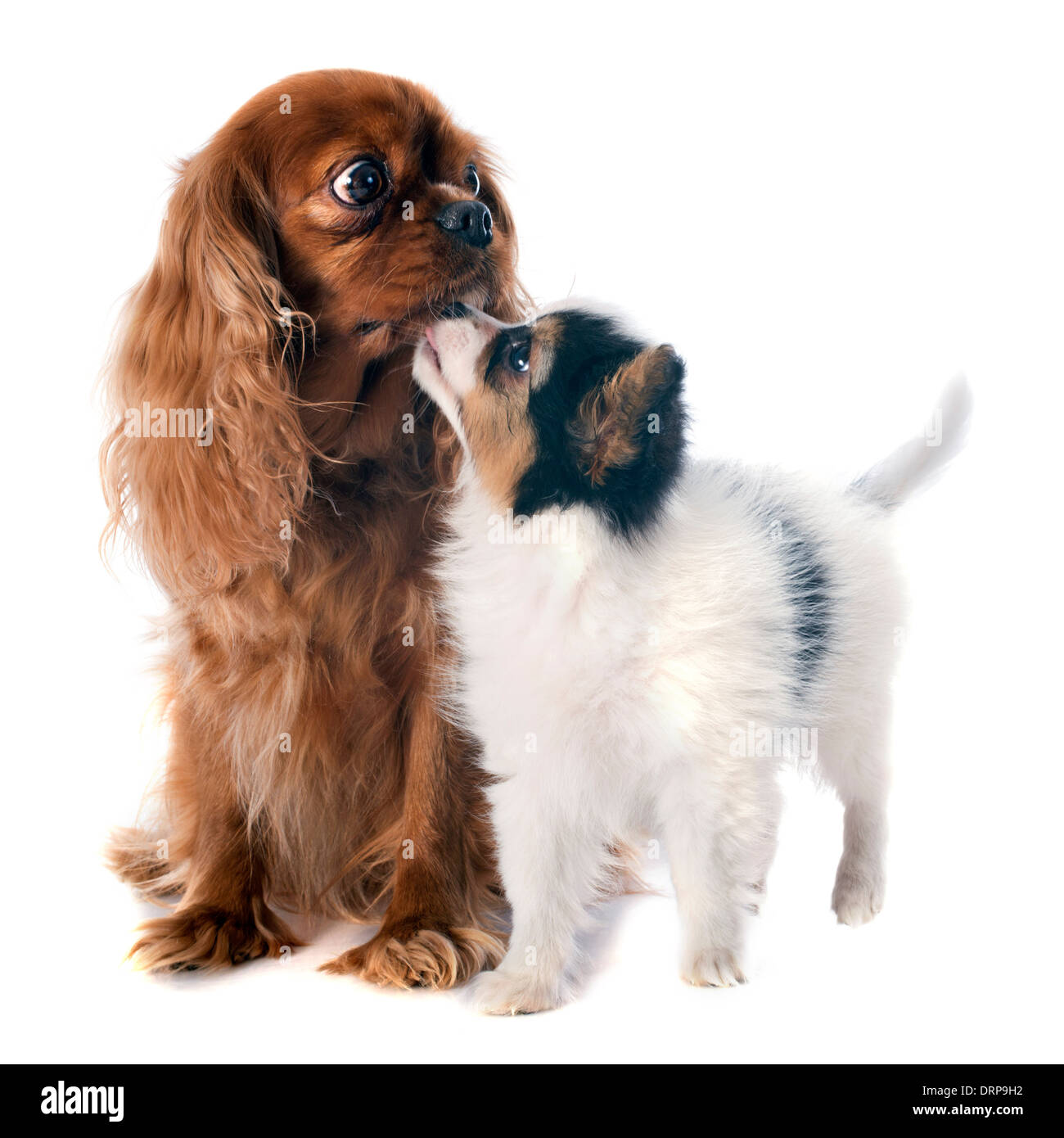 papillon puppy and cavalier king charles in front of white background - Stock Image