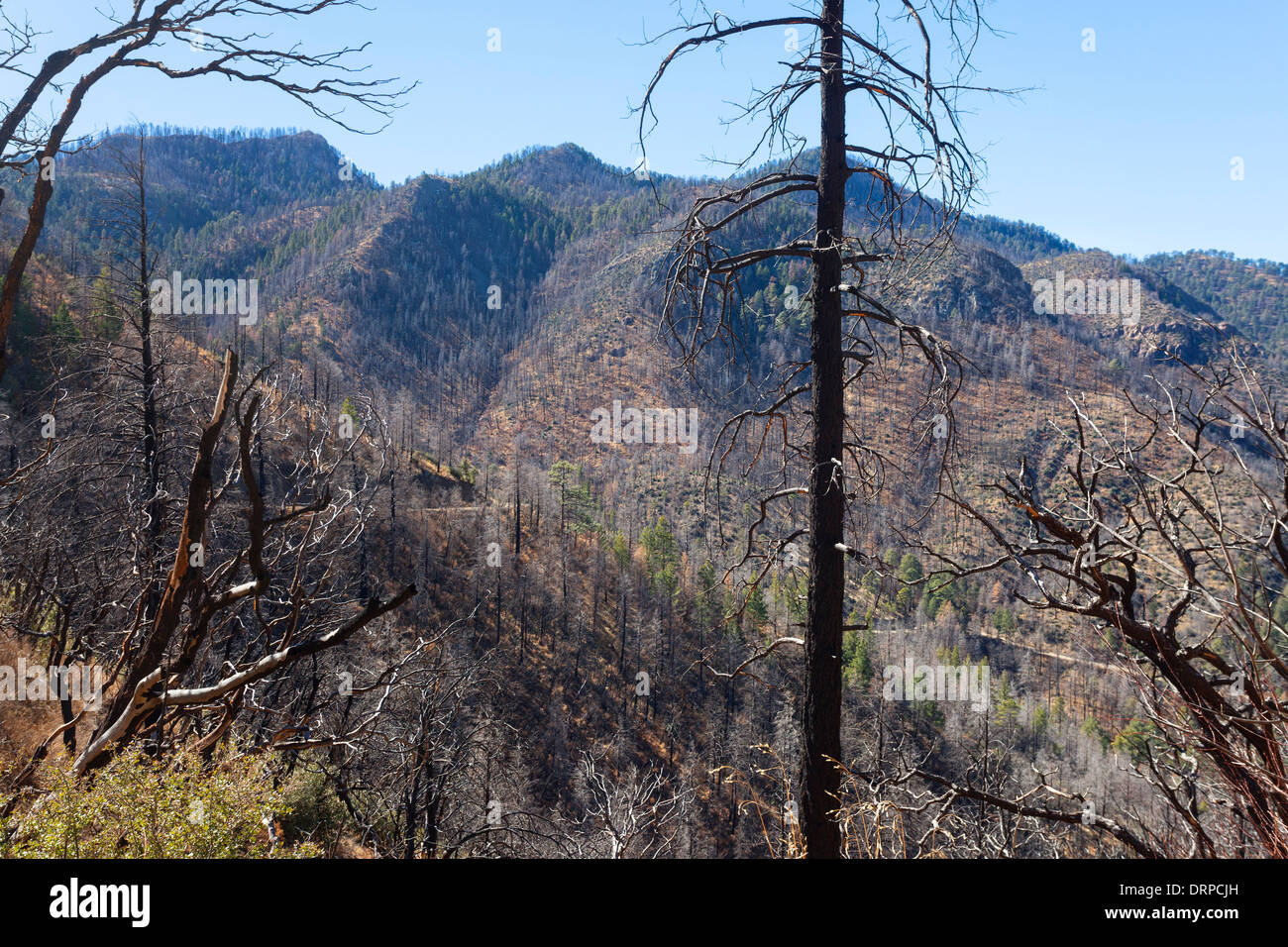 Burned pine forest on hillsides in the Chiricahua National Park, Arizona, USA - Stock Image