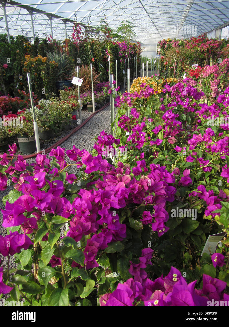 Variuos colors of Bougainvillea growing in a nursery hot house - Stock Image