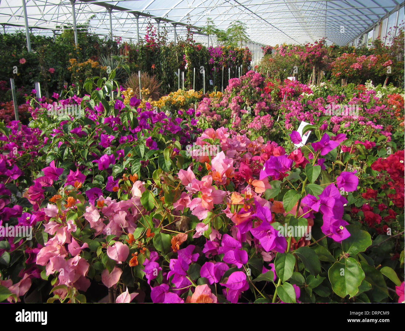 Various colors of Bougainvillea plants blossoming in a nursery hot house. - Stock Image