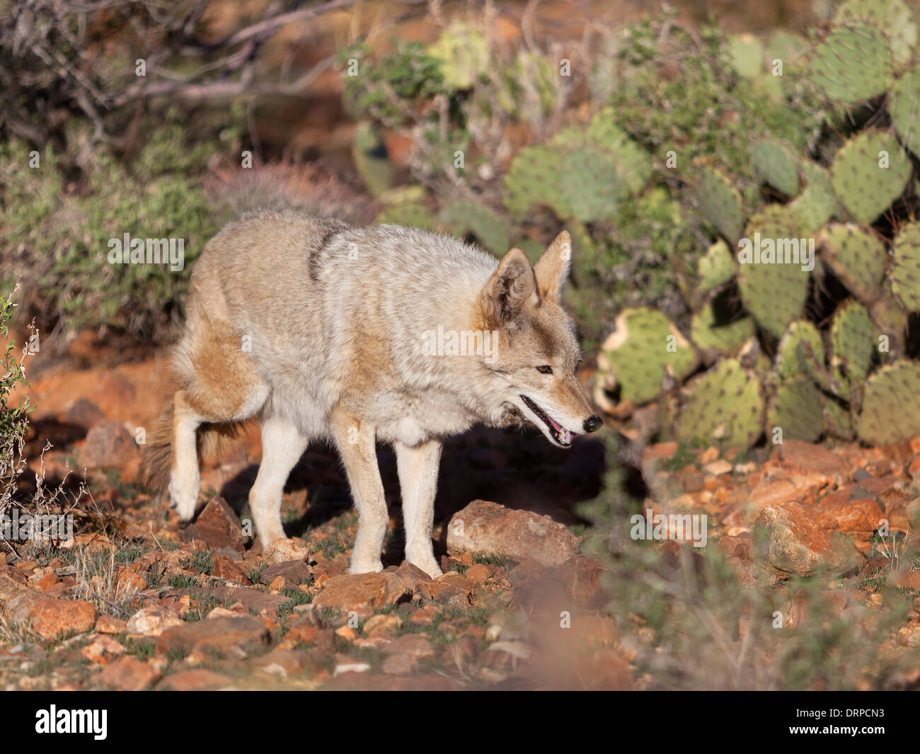 The coyote (US Canis latrans), also known as the American jackal, brush wolf, or the prairie wolf, is a species of canine. - Stock Image