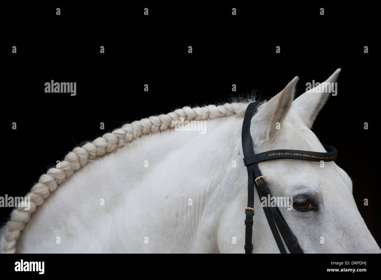 Abstract portrait of a plaited and bridled Lusitano stallion Stock Photo