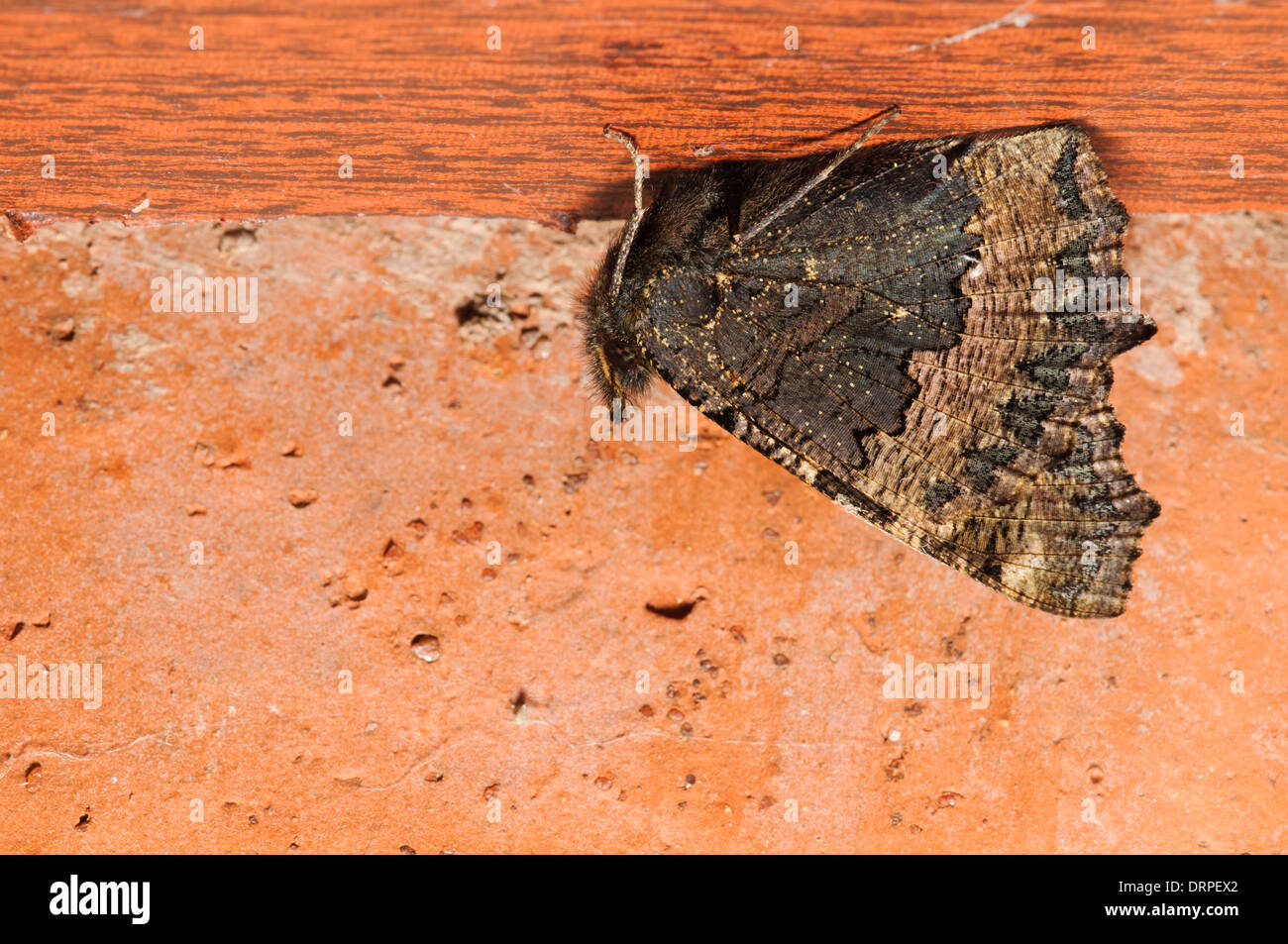 Small Tortoiseshell (Aglais urticae), adult hibernating under a shelf in a garage in Sowerby, Thirsk, North Yorkshire. October. - Stock Image