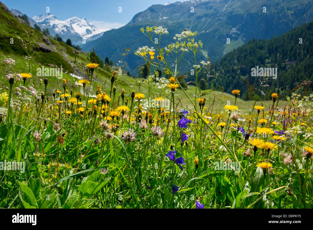 Alpine Wildflower Meadow In The Swiss Alps Below The Matterhorn Near Zermatt Switzerland