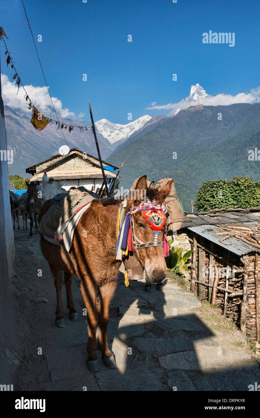 pack horses on the trail in Ghandruk village in the Annapurna region of Nepal - Stock Image