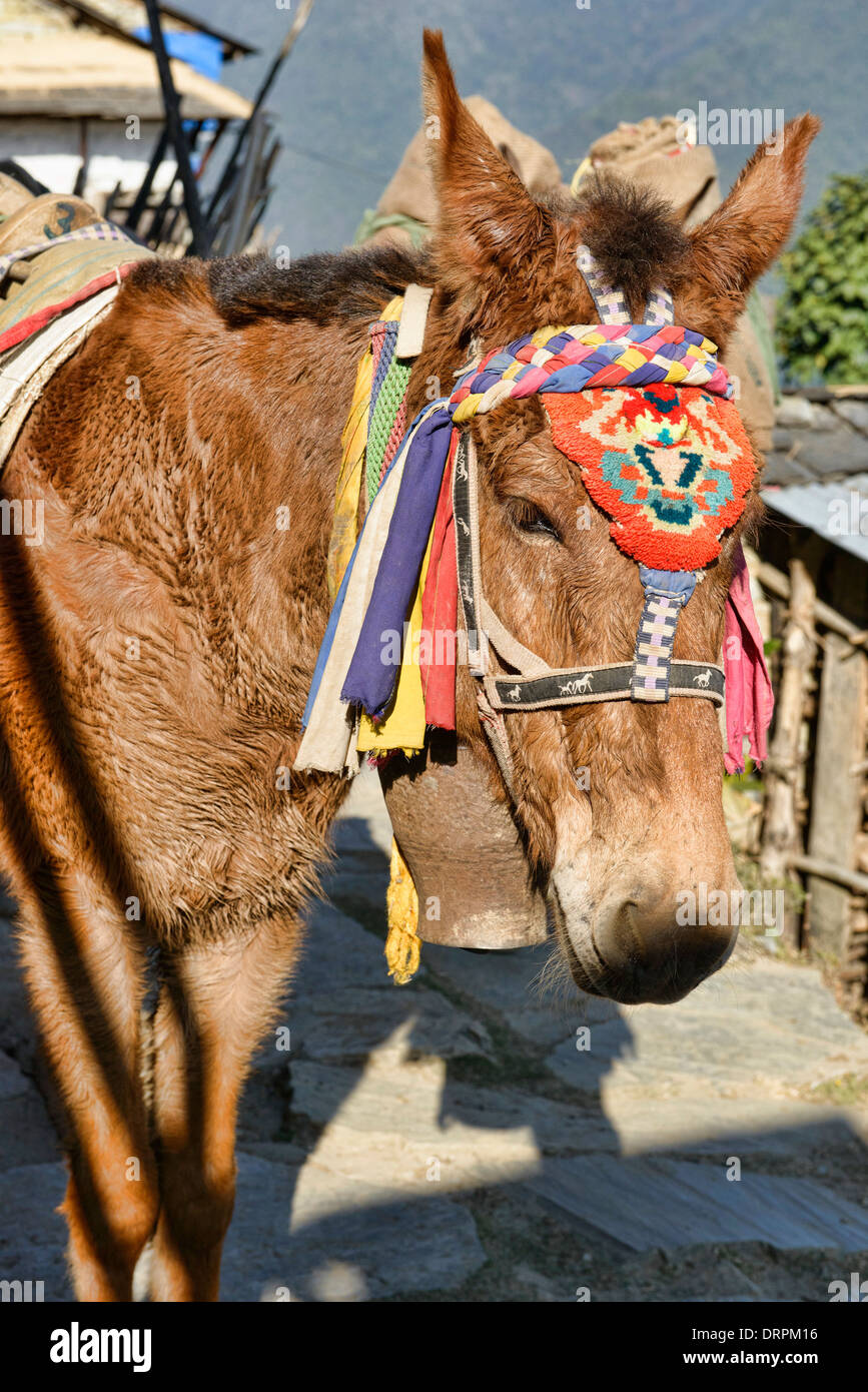 pack horse on the trail in Ghandruk village in the Annapurna region of Nepal - Stock Image