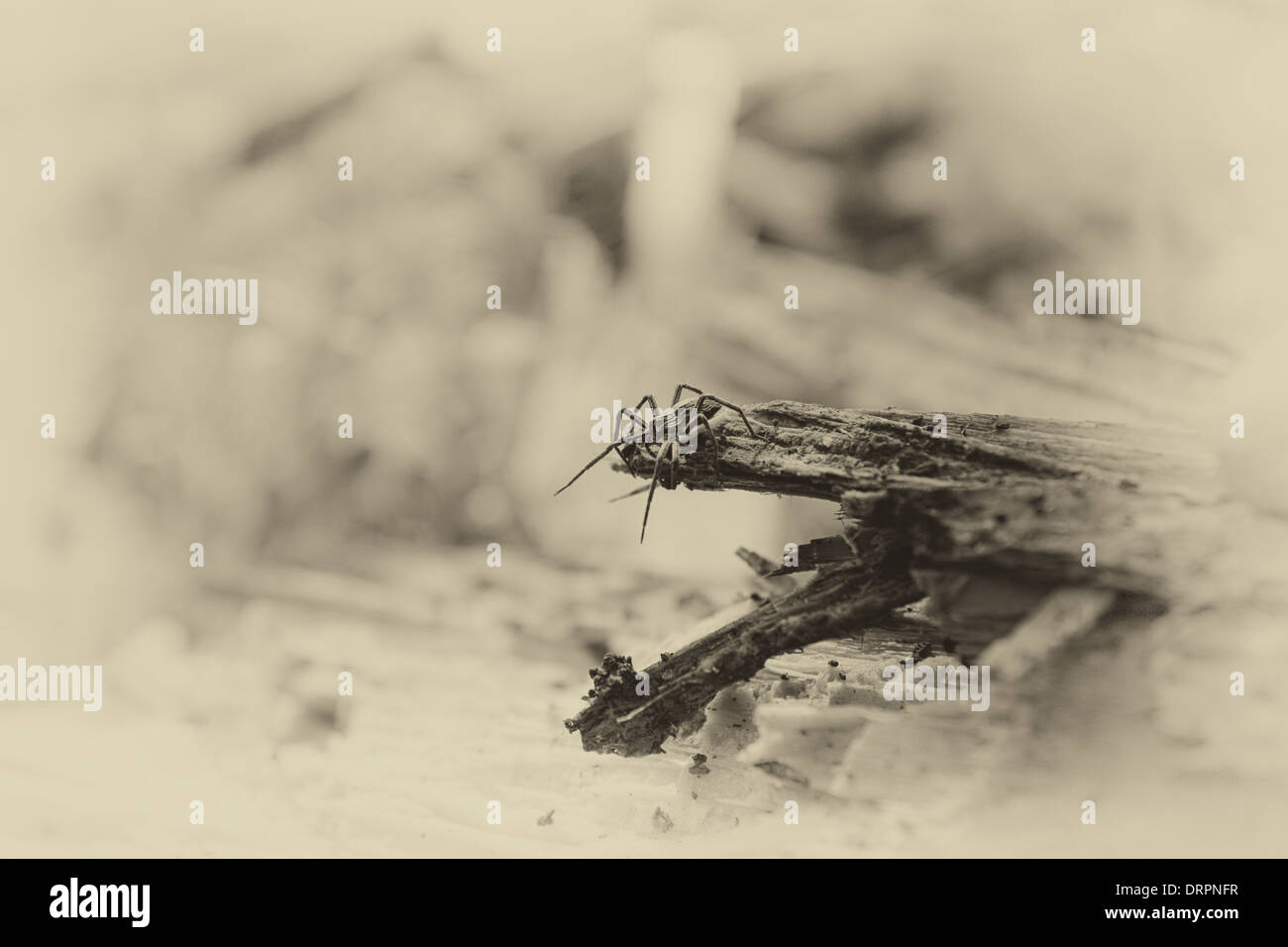 spider on an old tree in nature - Stock Image