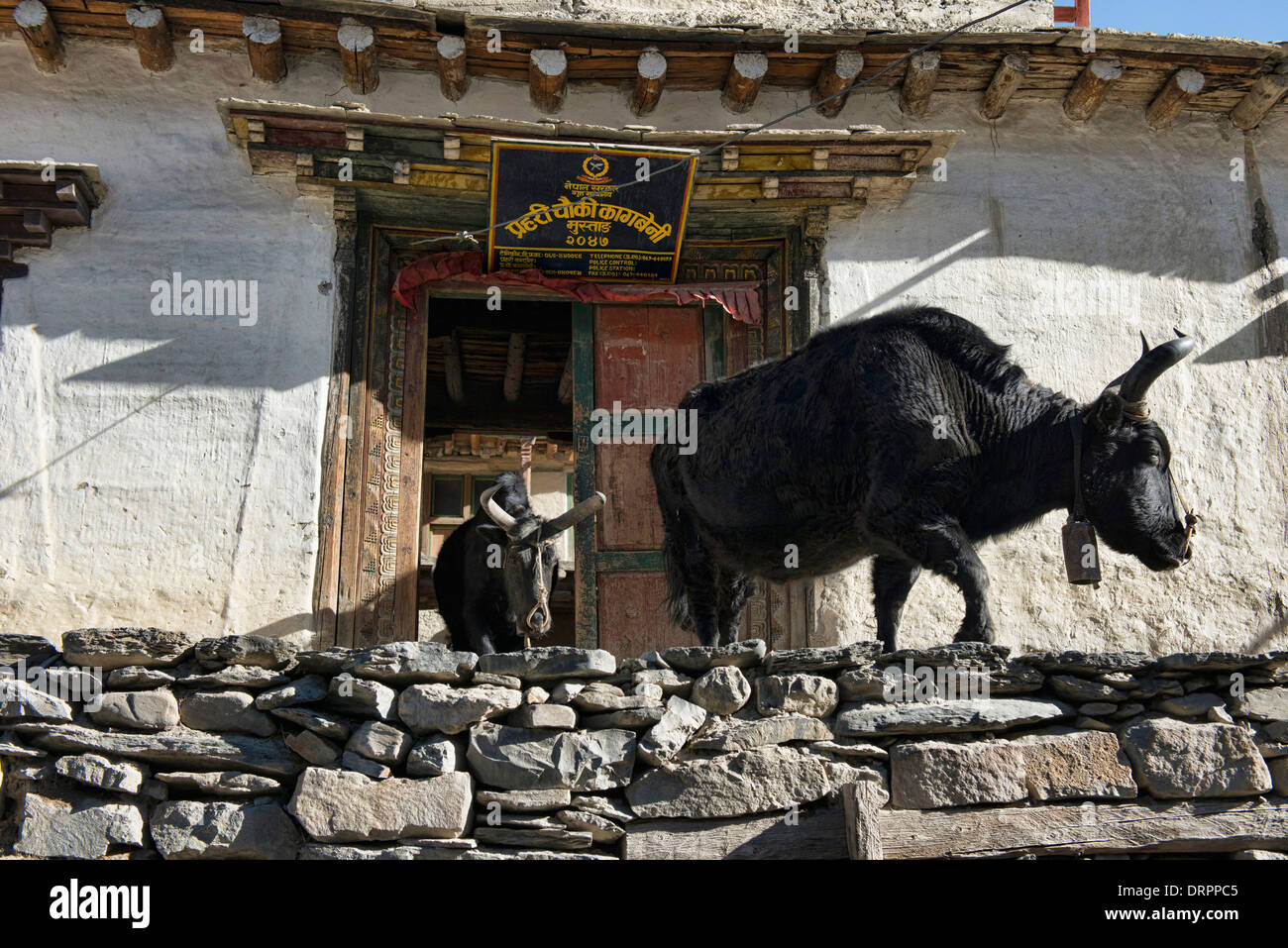 yaks in medieval Kagbeni village in the Kingdom of Mustang in the Annapurna region of Nepal - Stock Image