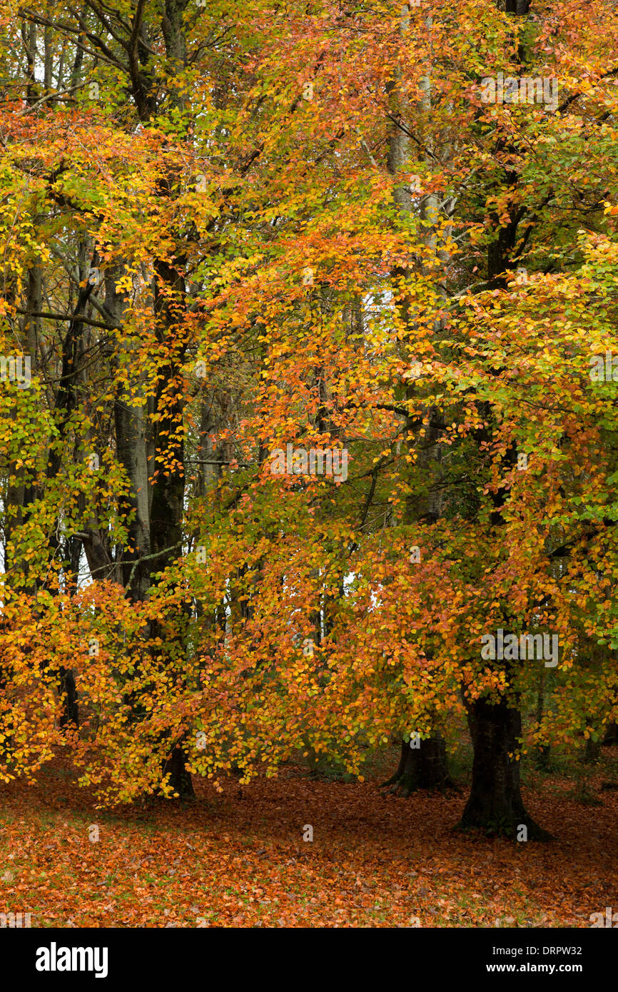 Autumn beech trees in Hazelwood forest, County Sligo, Ireland. - Stock Image