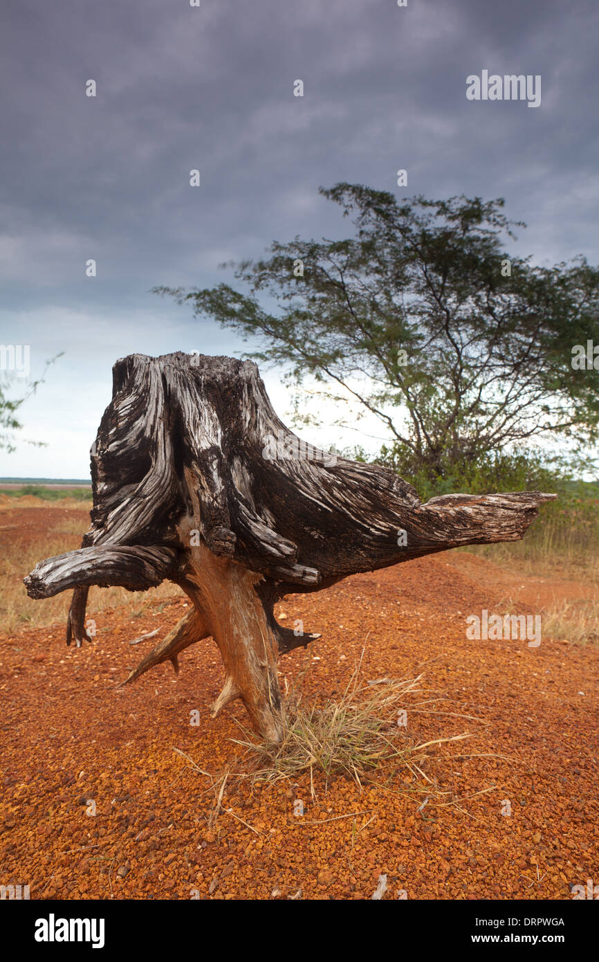 Dry tree and eroded soil in Sarigua National Park (desert) in the Herrera province, Republic of Panama. Stock Photo