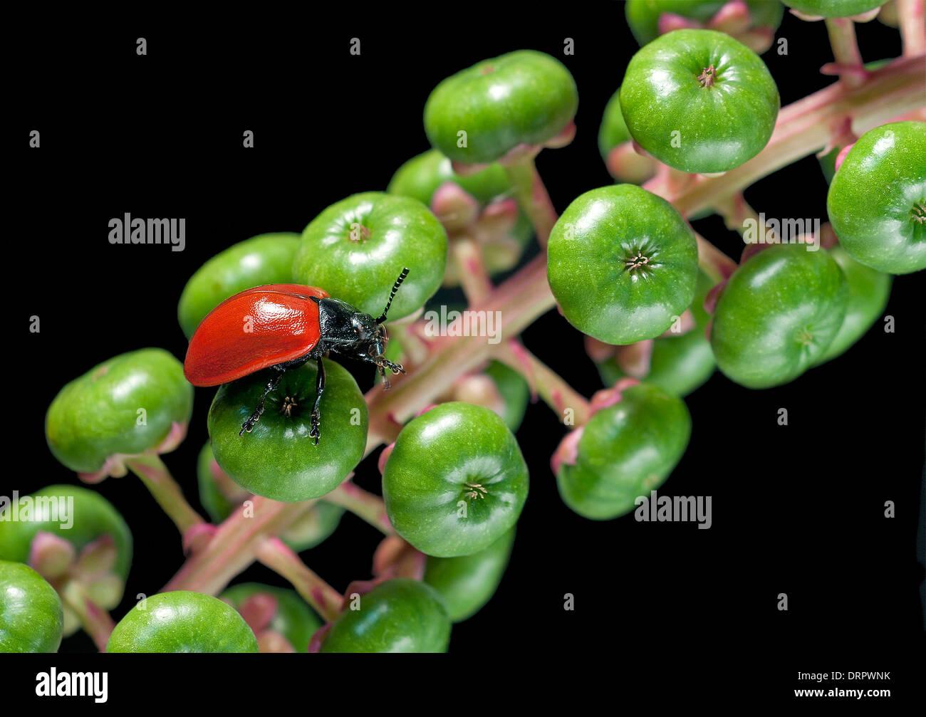 Melasoma populi on berries of Phitolacca - Stock Image