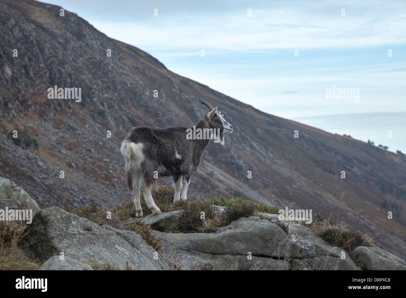 Feral goat in the upper Glendalough valley, Wicklow Mountains National Park, County Wicklow, Ireland. - Stock Image