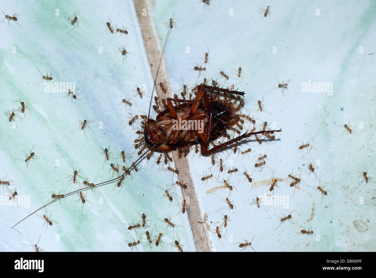 Ants Carrying Its Food Stock Photos & Ants Carrying Its Food Stock ...