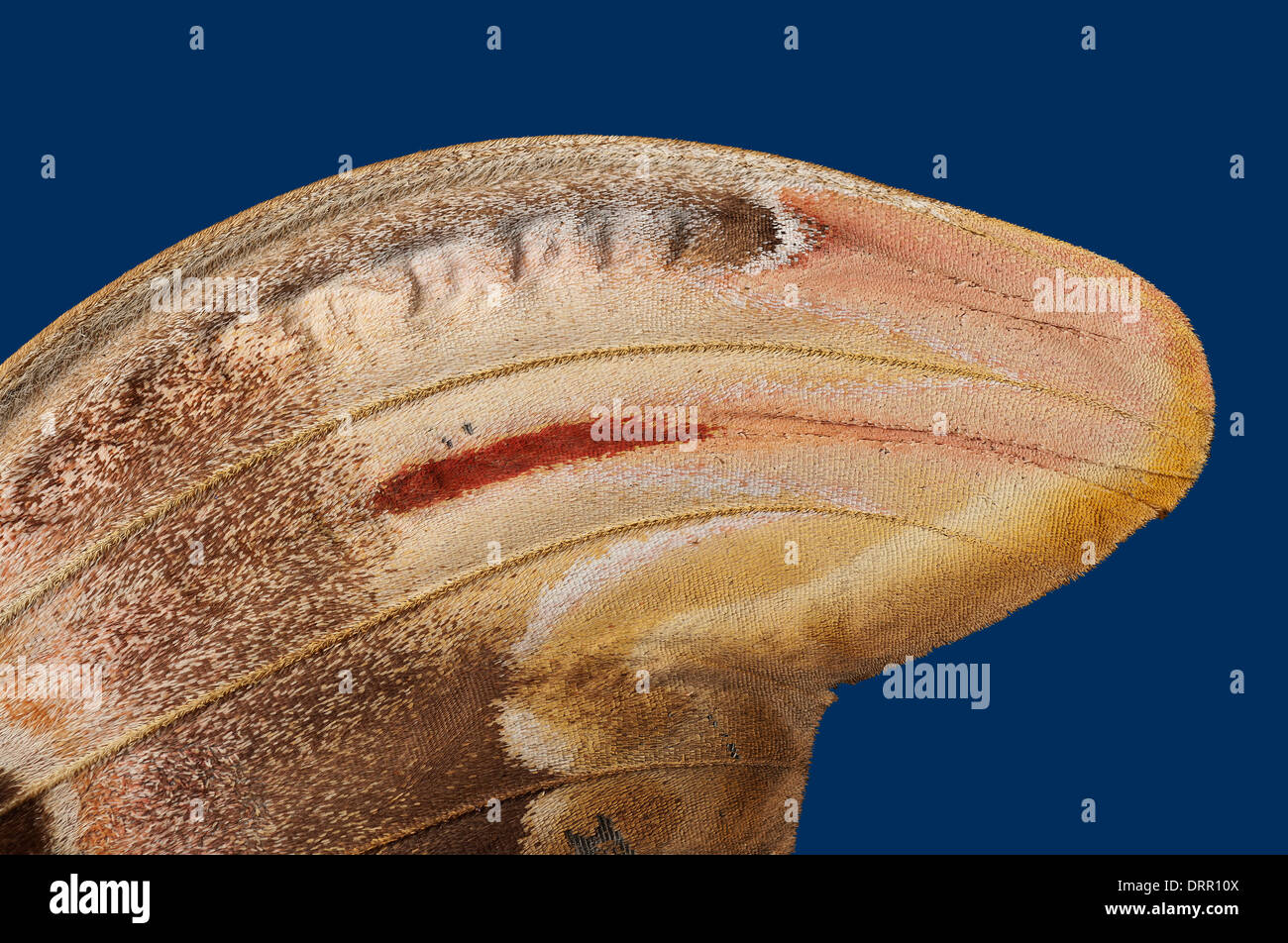 Attacus atlas: view of right wing - Stock Image