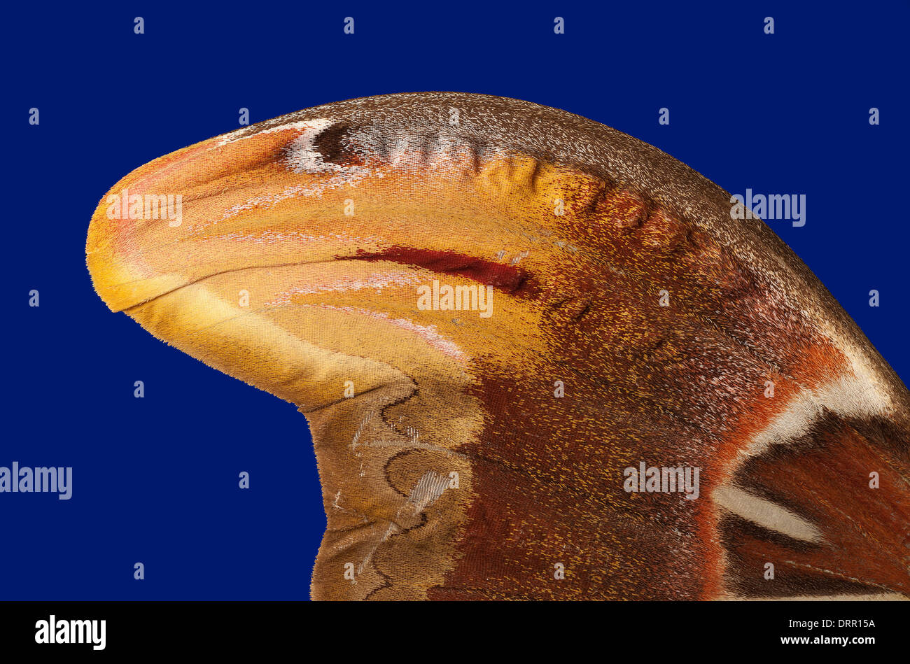 Attacus atlas: view of reverse of right wing - Stock Image