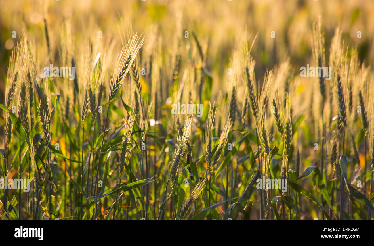 Wheat growing in a field in warm afternoon light, near Griffith, NSW, Australia Stock Photo