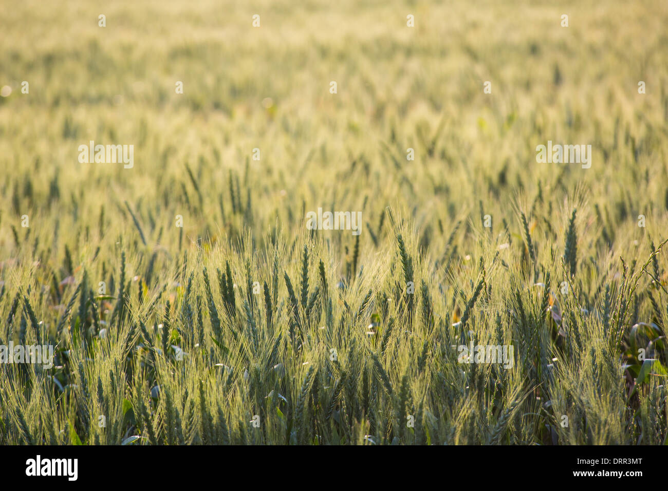 Fields of wheat in warm afternoon light, growing near Griffith, NSW, Australia Stock Photo