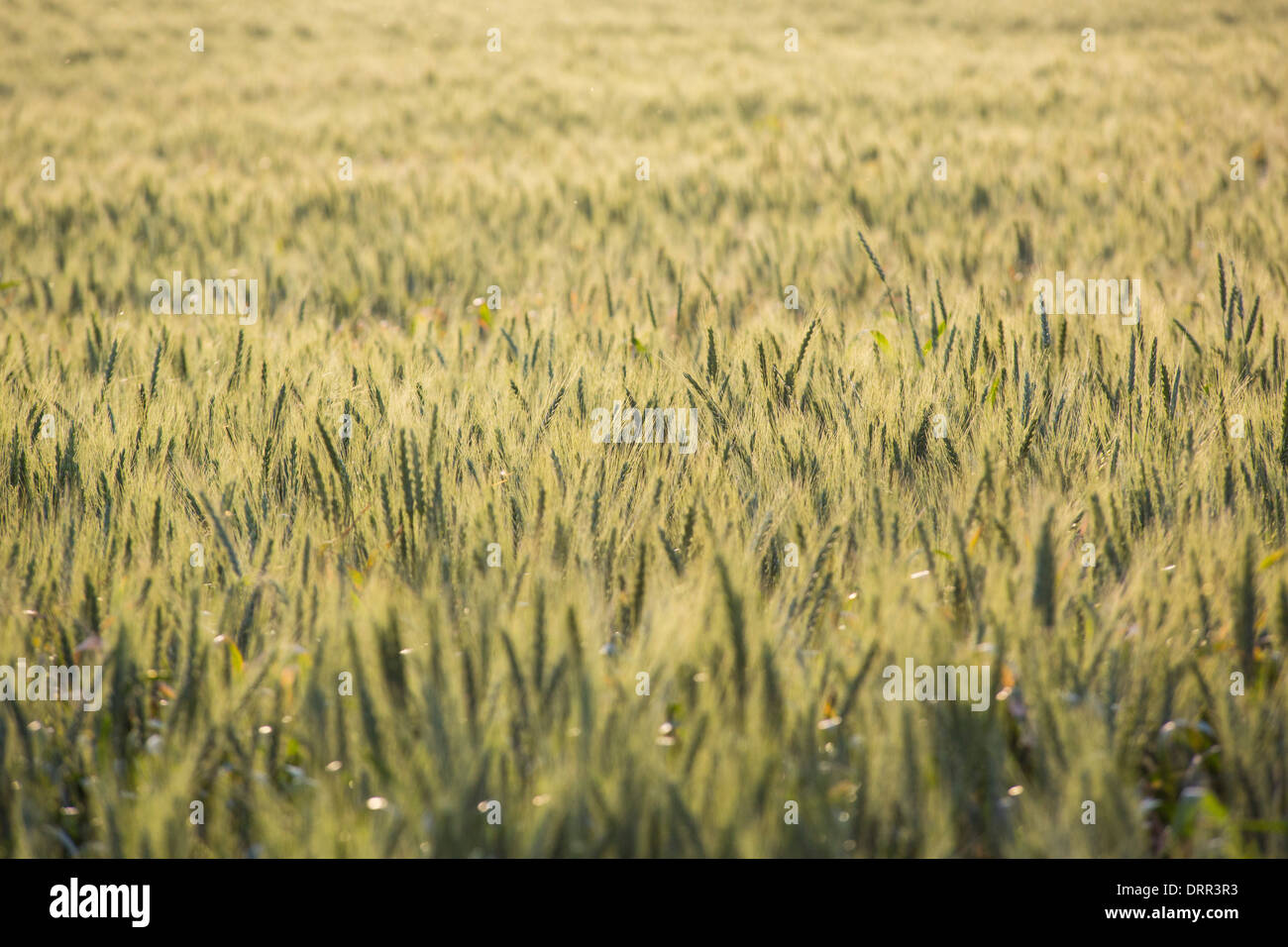 Fields of wheat in warm afternoon light, growing near Griffith, NSW, Australia - Stock Image