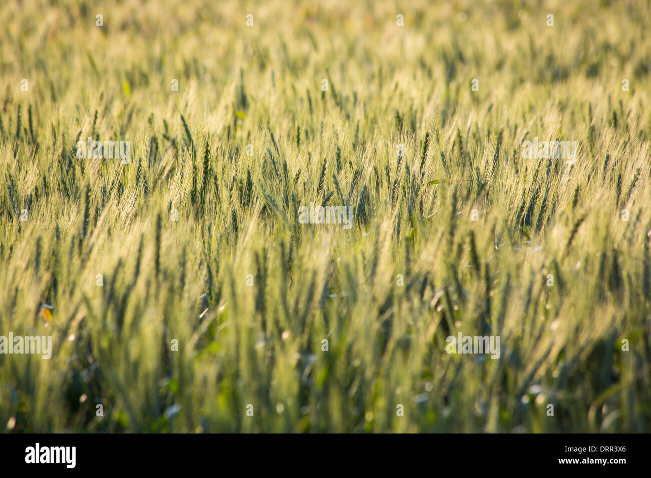 Wheat growing in a field in warm afternoon light, near Griffith, NSW, Australia - Stock Image
