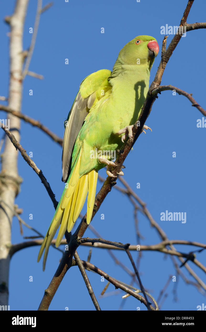Female Ring-necked parakeet (Psittacula krameri) perched on branch Stock Photo