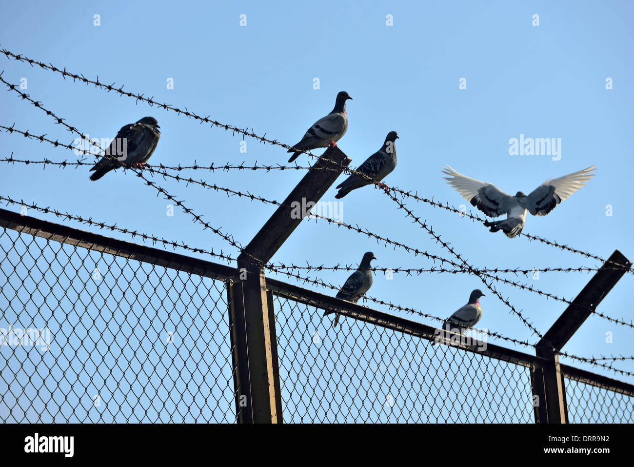 dove symbol of freedom and wire mesh Stock Photo