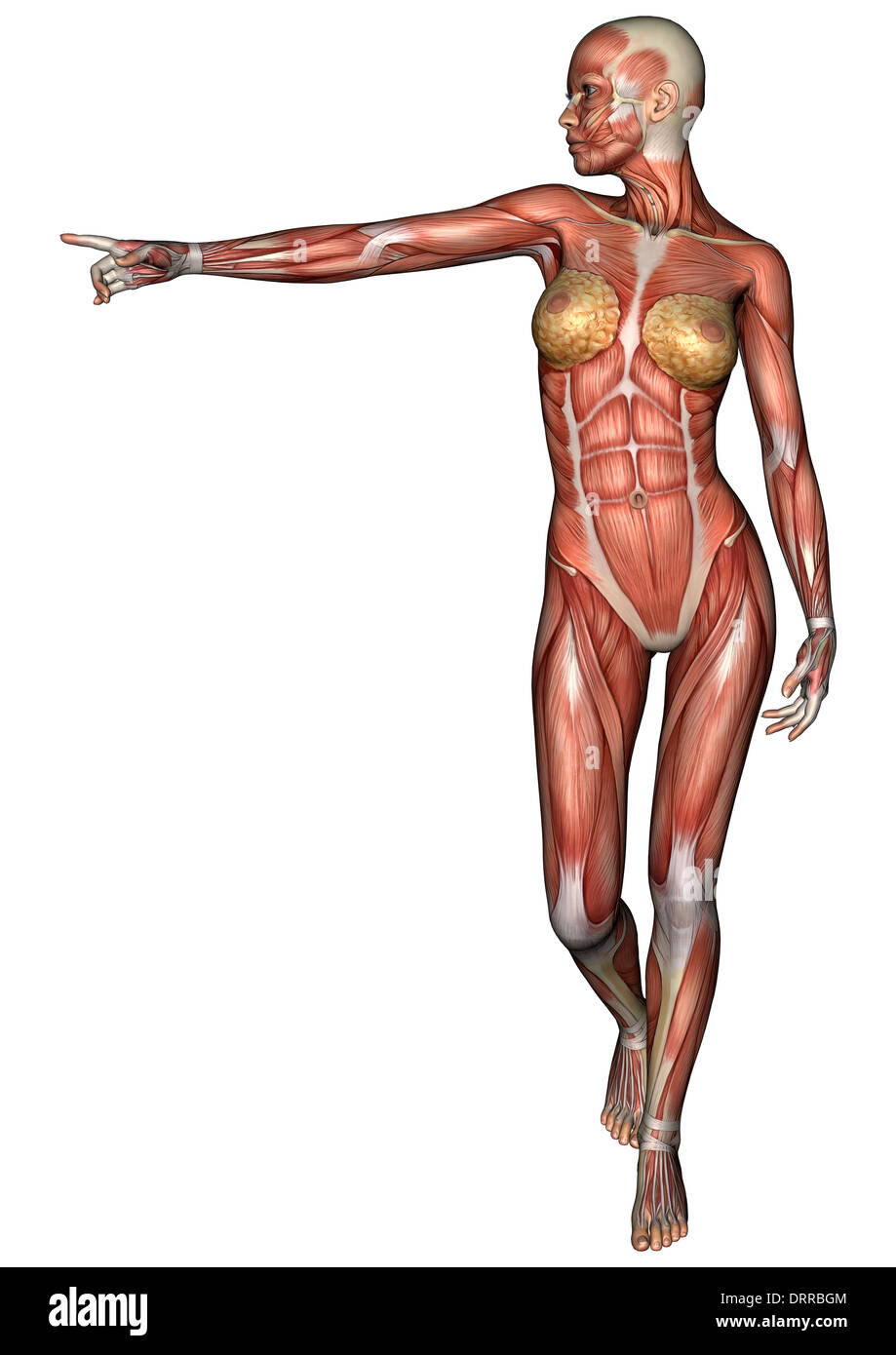 Human Muscular System Female Cut Out Stock Images Pictures Page