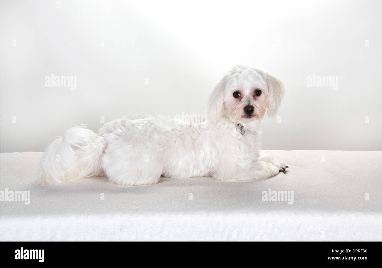 Maltese Toy Poodle Stock Photos Maltese Toy Poodle Stock Images