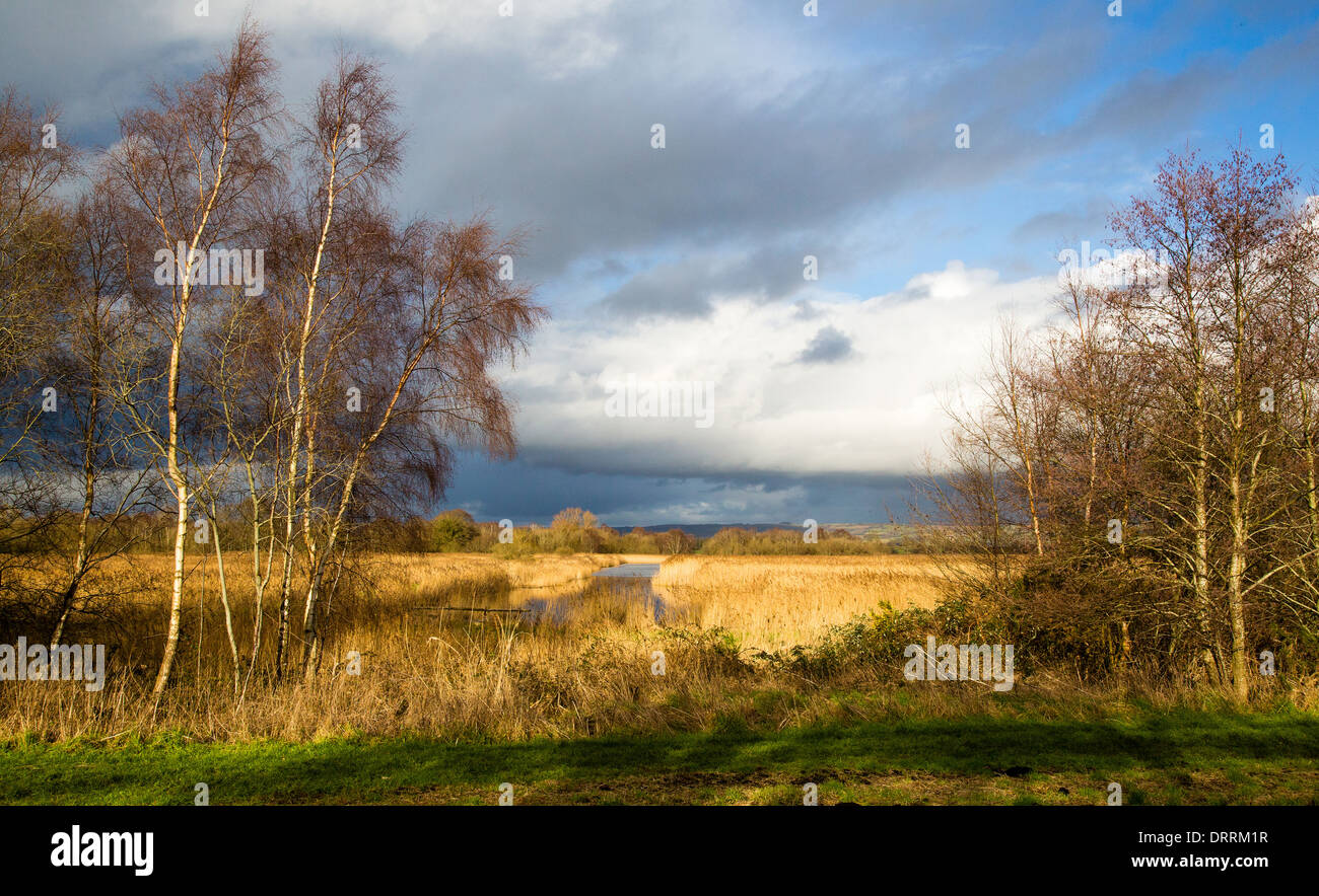 View over reed beds at Ham Wall nature reserve on the Somerset Levels UK in winter - Stock Image