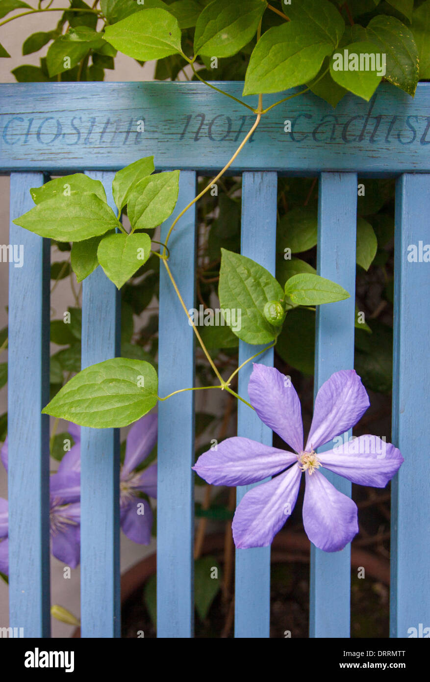 Delicate mauve Clematis flowering through a blue painted garden bench - Stock Image