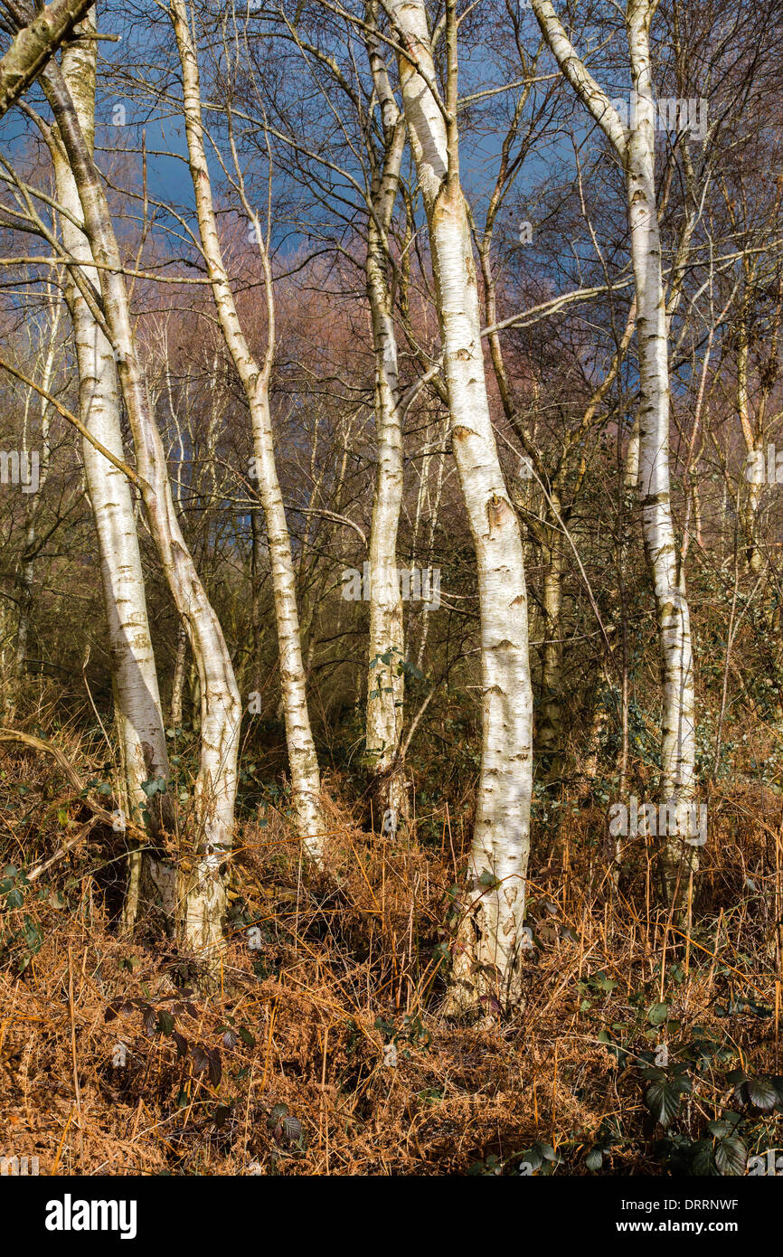 White barked Silver Birch trees Betula pendula in woodland on the Somerset levels UK in winter - Stock Image
