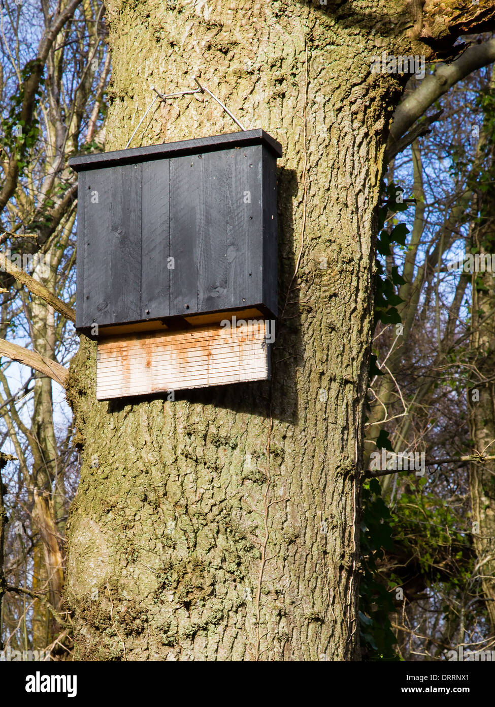 Large communal bat box with generous landing plate set high up the trunk of an oak tree in a Somerset wood - Stock Image