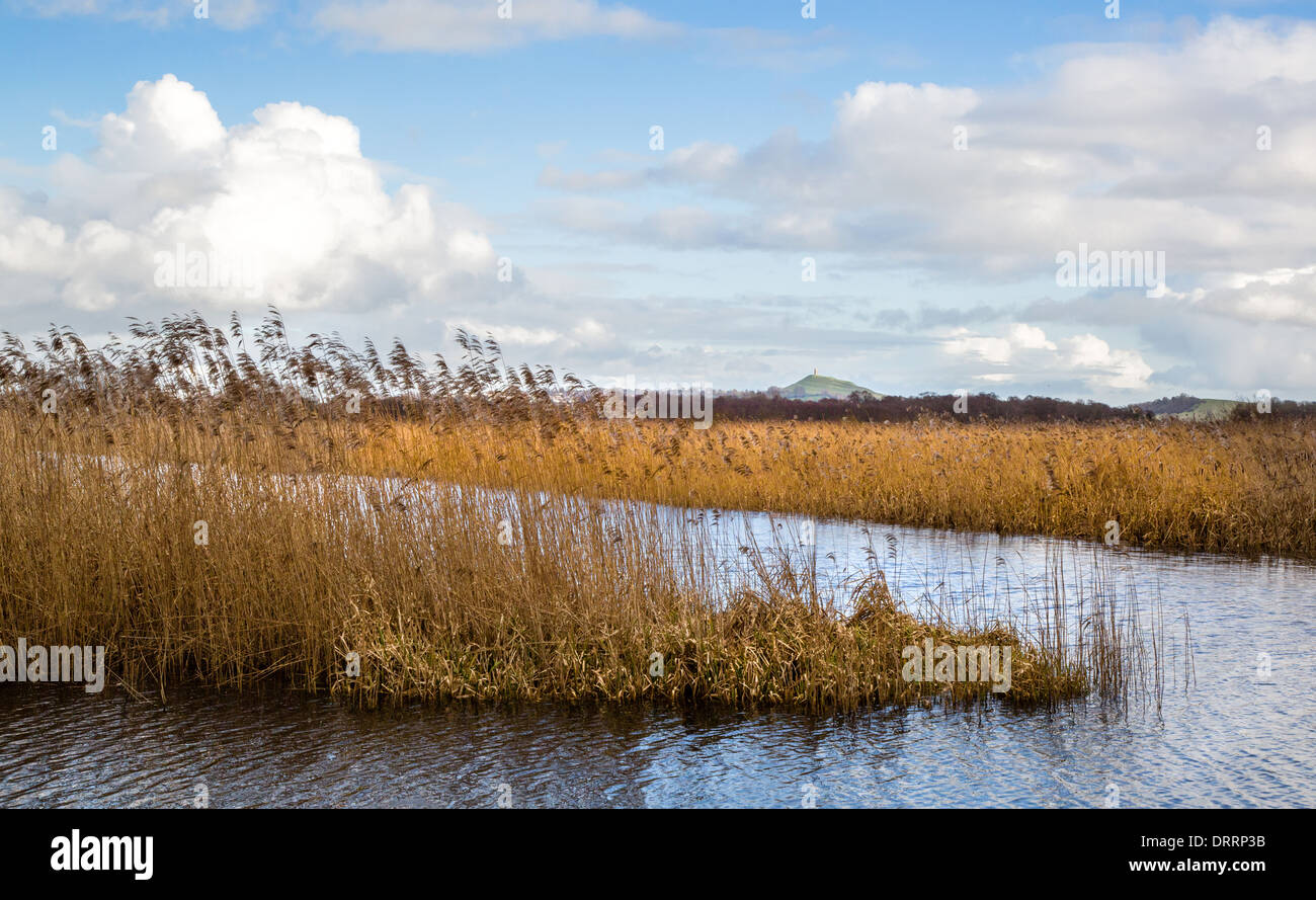 Reed islands on the Somerset Levels wetlands near Ham Wall with a distant view of Glastonbury Tor - Stock Image