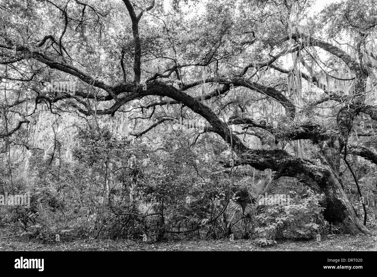 Twisted old live oak tree (Quercus virginiana) in Fort Clinch State Park, Florida converted to black and white. - Stock Image