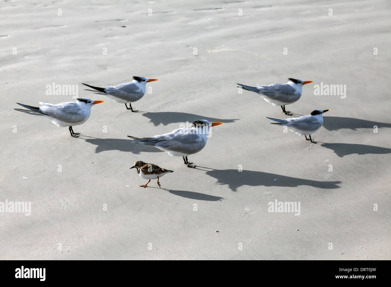 Small, ruddy turnstone with winter plumage passes in opposite direction to a flock of Royal and Sand Terns on Daytona Stock Photo