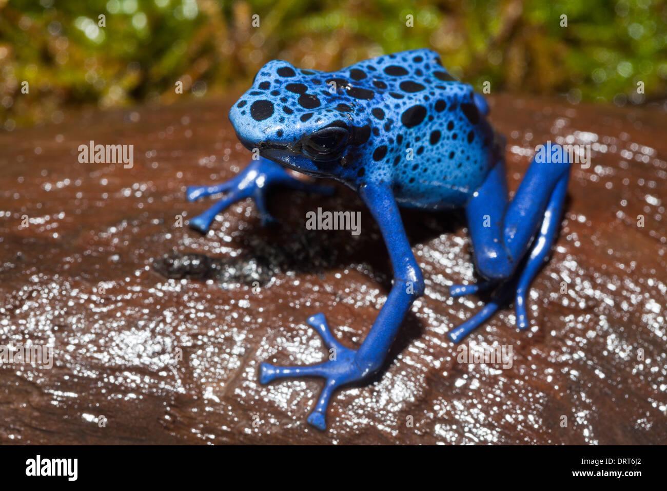 Blue Poison Dart Frog, Dendrobates tinctorius azureus, Suriname - Stock Image