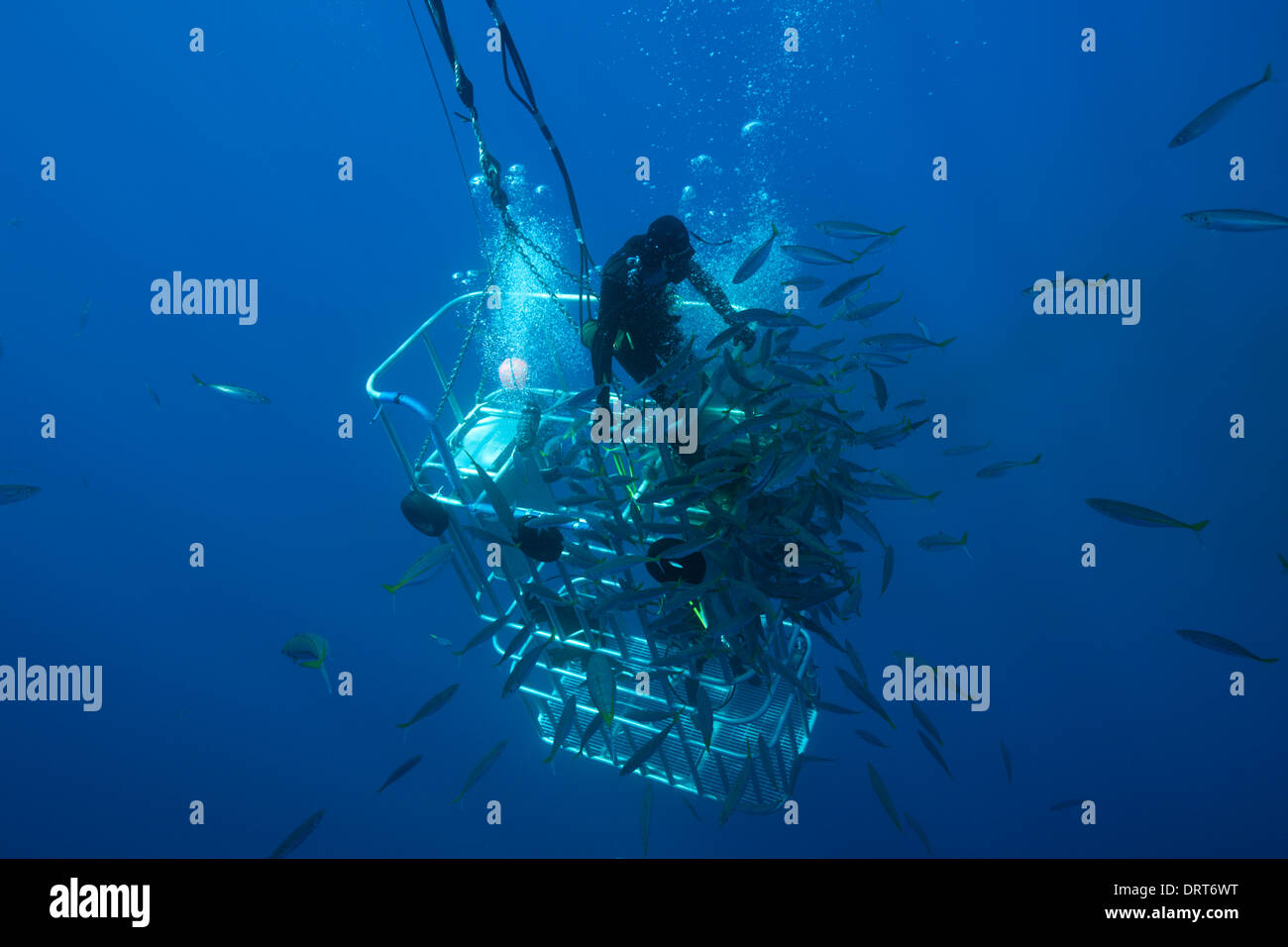Great White Shark Cage Diving, Guadalupe Island, Mexico Stock Photo ...