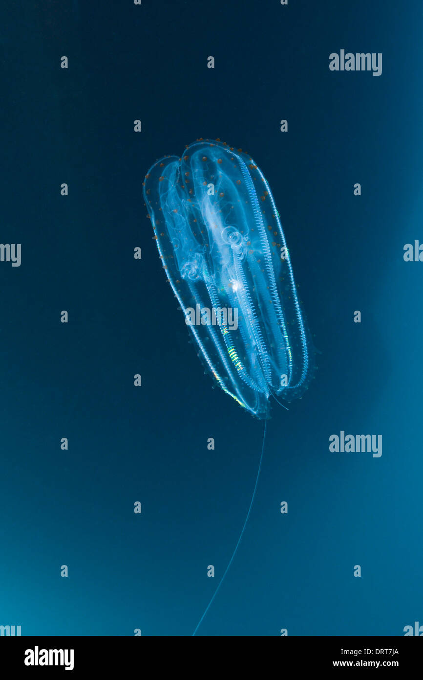 Comb Jellyfish, Ctenphora, Guadalupe Island, Mexico - Stock Image