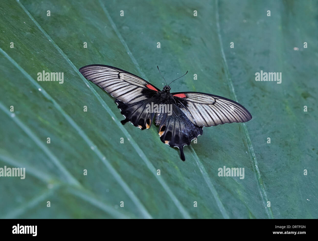 Asian Swallowtail or Great Yellow Mormon butterfly Papilio lowi from the Papilionidae family Dorsal or open view - Stock Image