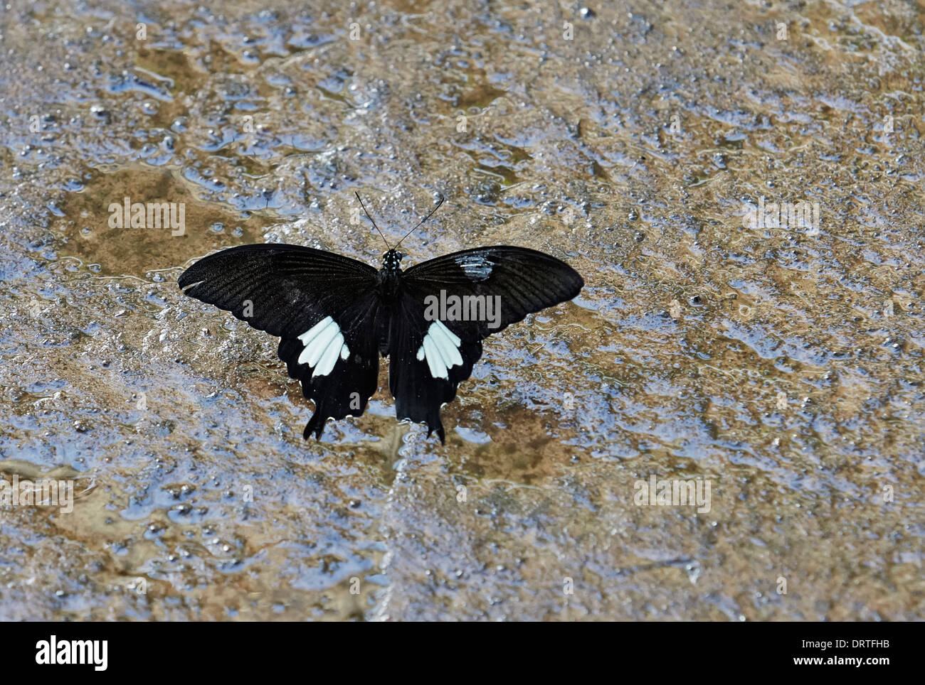 Black and White Helen butterfly Papilio nephelus sunatus from the Papilionidae family Dorsal or open view Australasia and India - Stock Image
