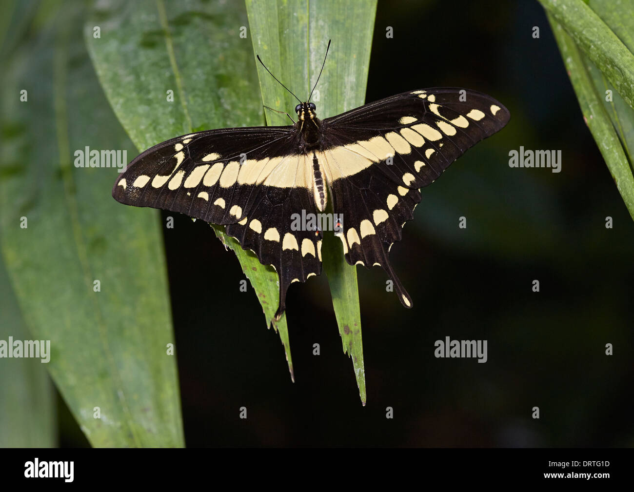 The King Swallowtail or Thoas Swallowtail Papilio thoas dorsal or open view from Papilionidae family Central and South America - Stock Image