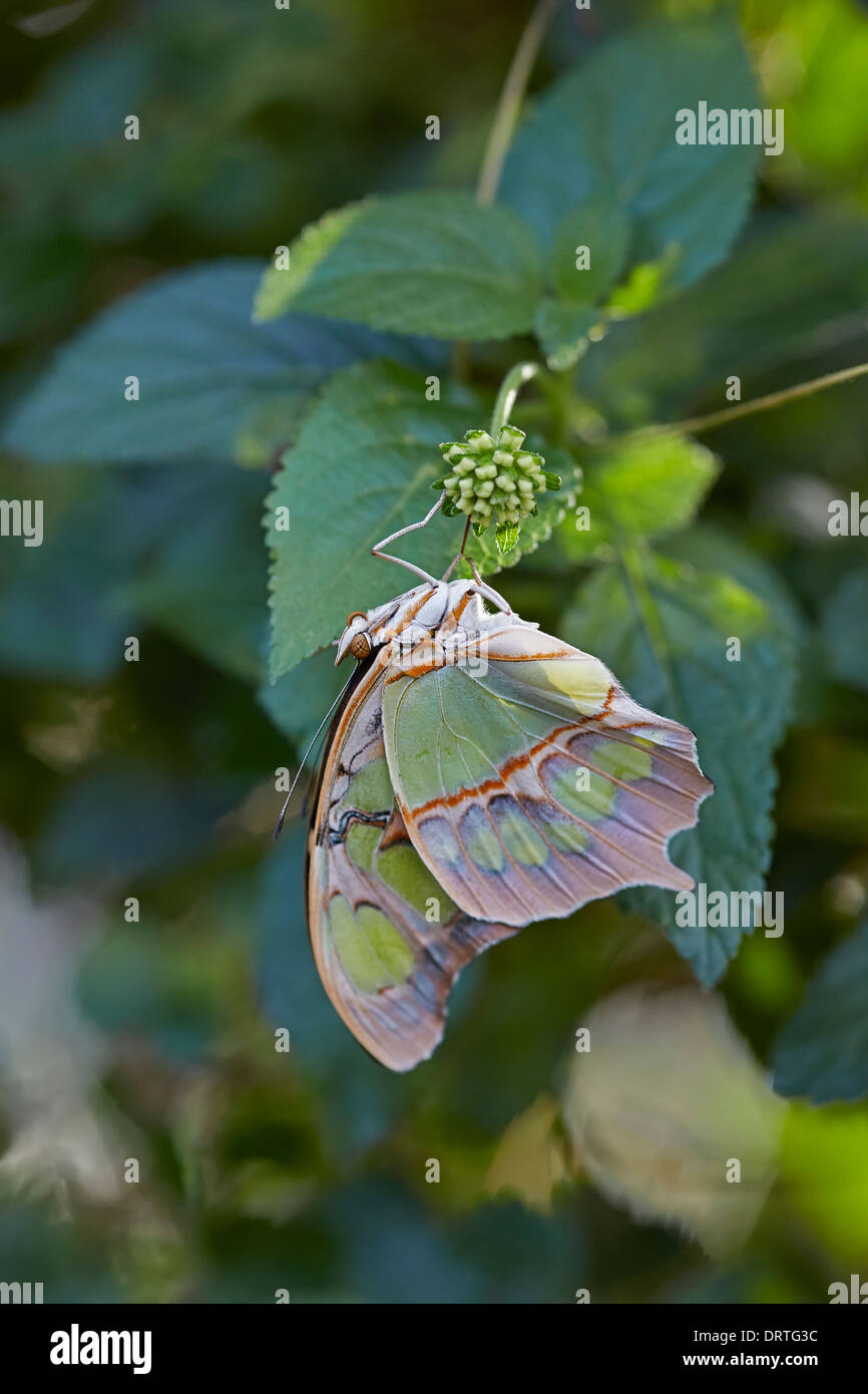 Malachite butterfly Siproeta stelenes Ventral or closed view Nymphalidae family from Central and South America - Stock Image