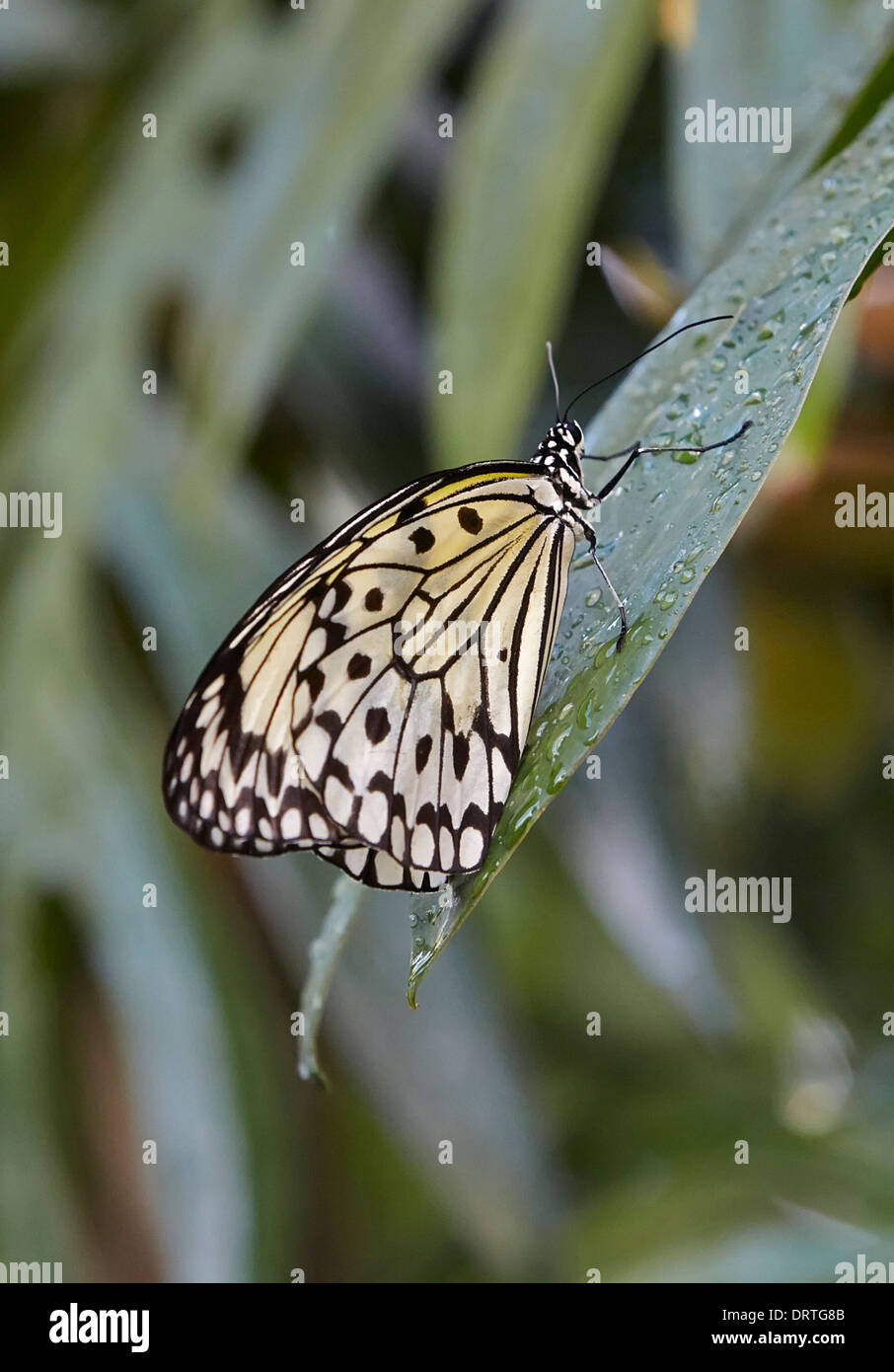 Large Tree Nymph or Paper Kite or Rice Paper butterfly Idea leuconoe from South East Asia Ventral or closed view - Stock Image
