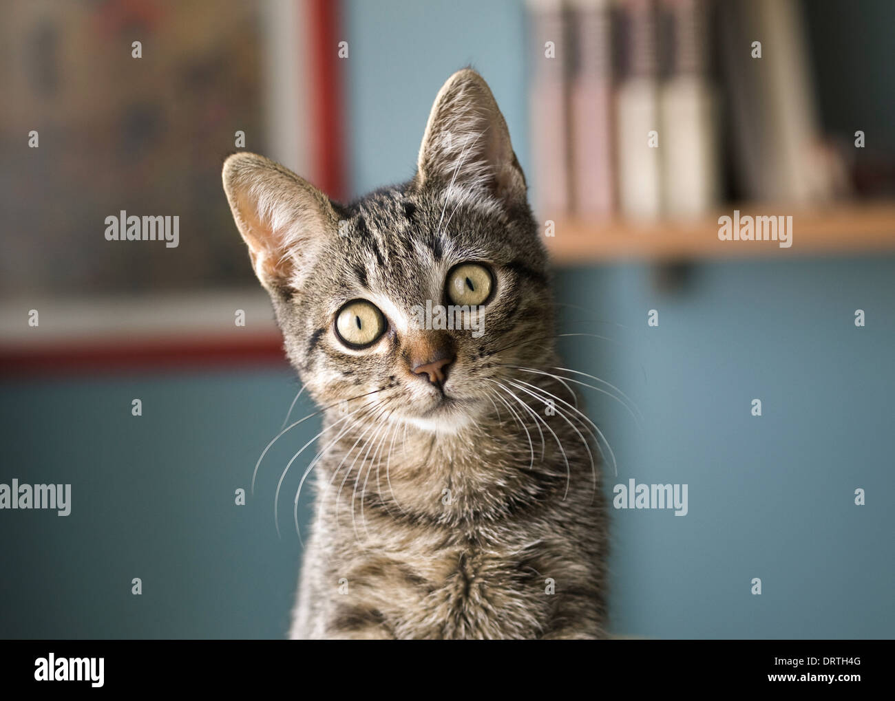 Cat with head tilted indoors. Cat is looking at camera. - Stock Image
