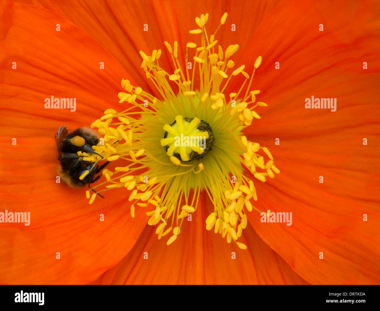 Bright red Papaver poppy flower detail with central yellow pistil and stamens and honey bee Stock Photo