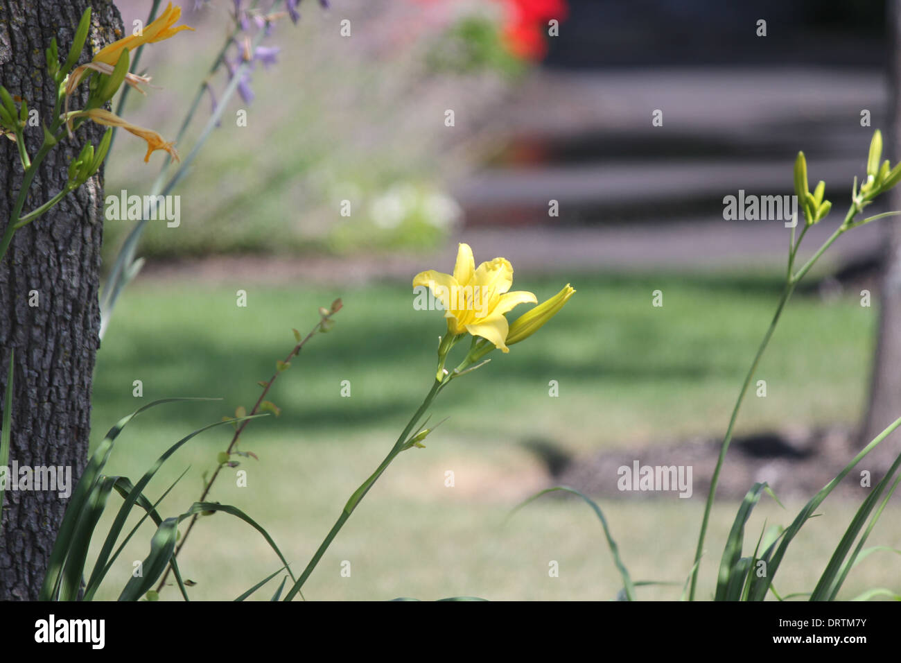 Yellow colored dayliy. Daylily flowers are highly diverse in colour and form. Daylilies are perennial plants - Stock Image