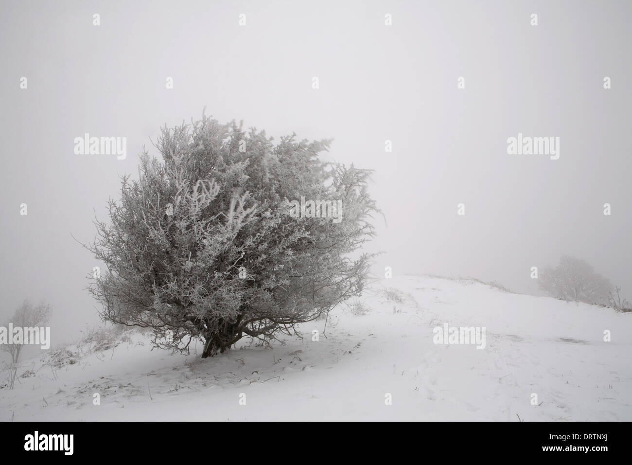 Snow is piled up on top of the branches of a Hawthorn Tree on the Malvern Hills in Winter. Stock Photo