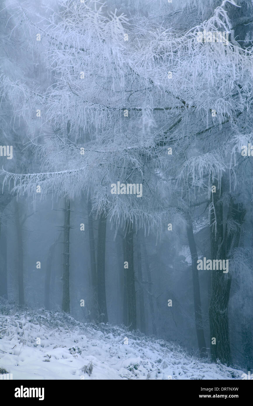 A European Larch tree, Larix Decidua, showing it's bare branches covered in snow at the edge of woodland on the Stock Photo
