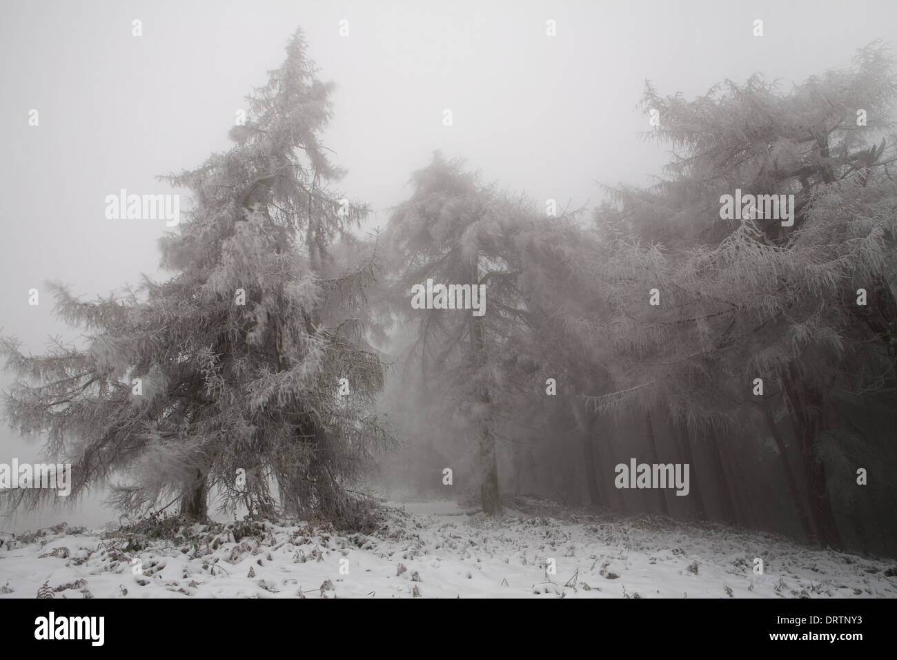 Snow covered European Larch trees, Larix Decidua, and conifers on Jubilee Hill on the Malvern Hills. Stock Photo