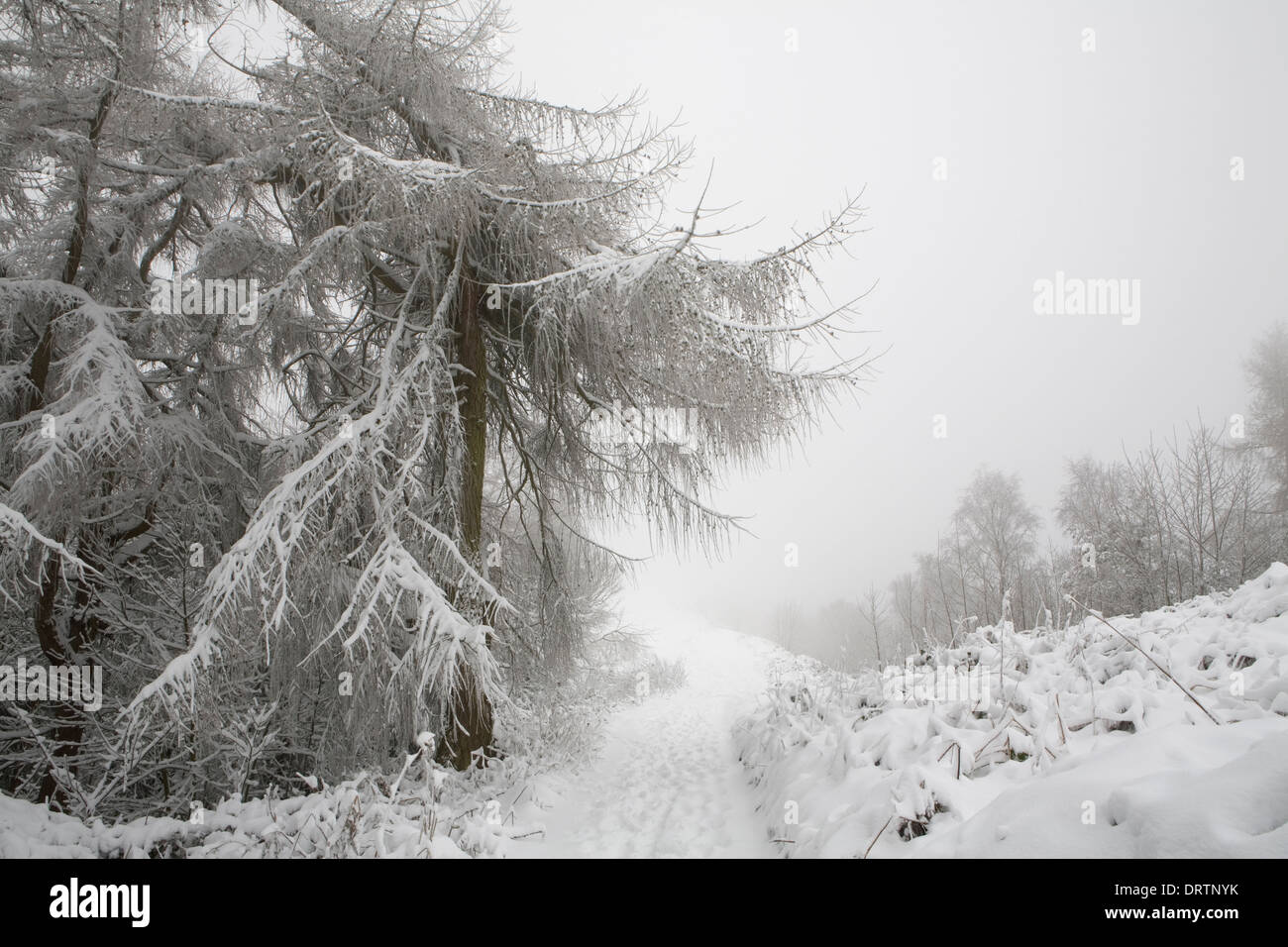 A snow covered European Larch tree, Larix Decidua, hangs over a footpath on Jubilee Hill on the Malvern Hills. Stock Photo