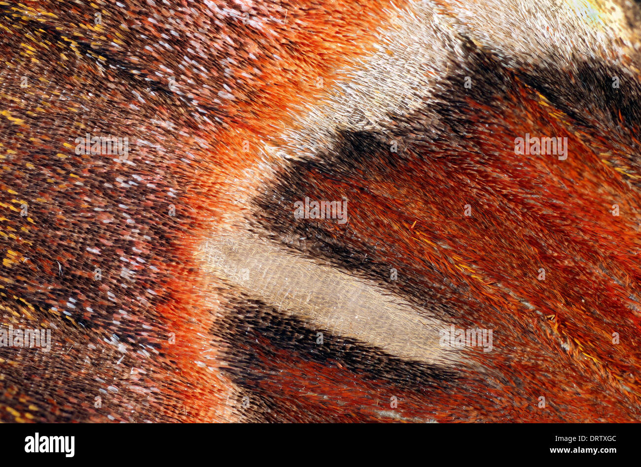Attacus atlas:view of right wing - Stock Image